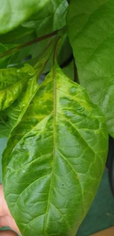 Warum verfärben sich die Blätter meiner Chili?