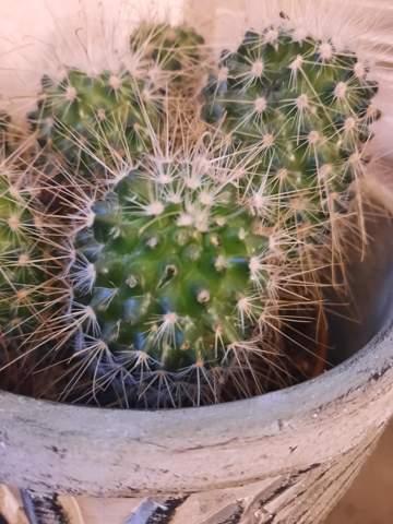 Warum verliert mein Kaktus Stacheln?