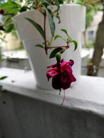 Warum verliert meine Fuchsie Blüten?