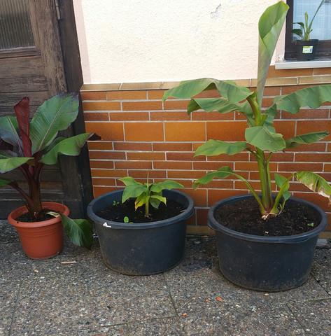 - (Garten, Wachstum, Gartenbanane)