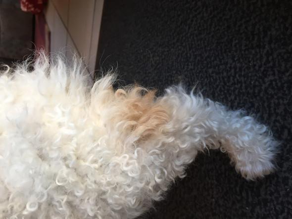 """Warum wächst meinem Hund nach Kahlrasur ein """"anderes Fell""""?"""