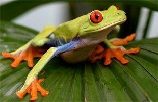 Pfeilgiftfrosch grün-orange-blau - (Tiere, Biologie, Natur)