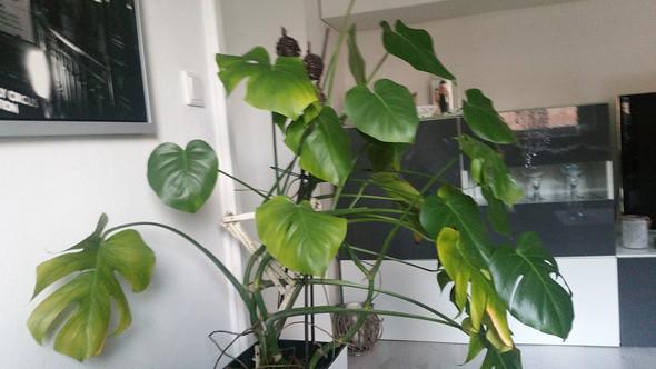 warum werden die bl tter der monstera gelb pflanzen pflanzenpflege gr npflanzen. Black Bedroom Furniture Sets. Home Design Ideas