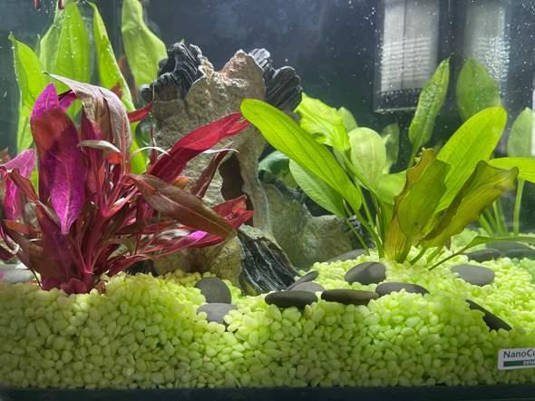 Warum werden meine Aquariumpflanzen nach einem Tag schon leicht bräunlich?
