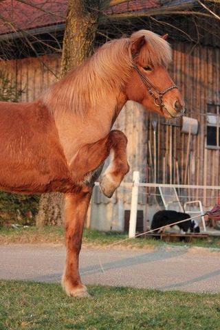 warum werden Pferde geschoren?