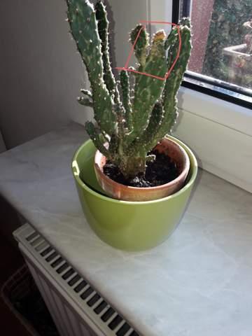 Warum wird mein Kaktus an einer Stelle oben Gelb? Was kann ich tun?