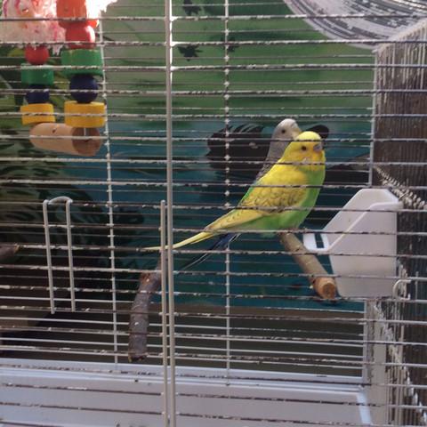 Wellidame - (Haustiere, Vögel, Wellensittich)