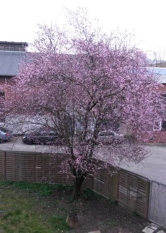 gesamter Baum - (Baum, bluete)