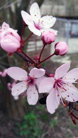 Zweig mit Blüten - (Baum, bluete)