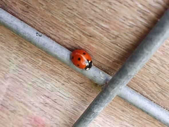 Was das für einr Art eines Marienkäfers?