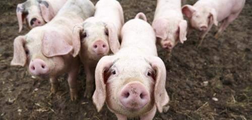 Was denkt ihr über Schwein-Mensch-Chimären, die der Organspende dienen?