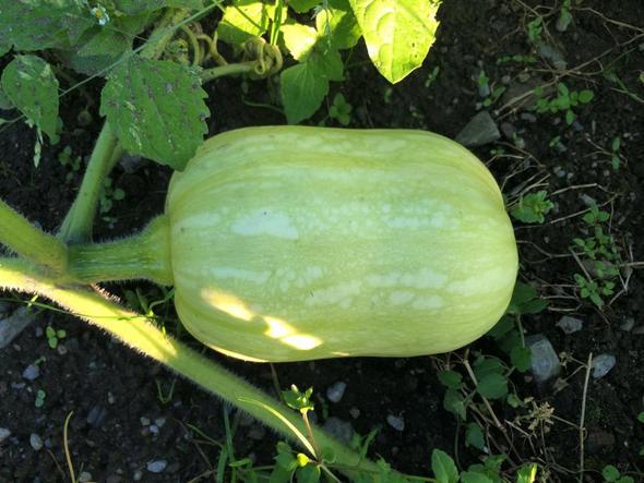 was für eine ist der grüne? ;)  - (essen, Gemüse)