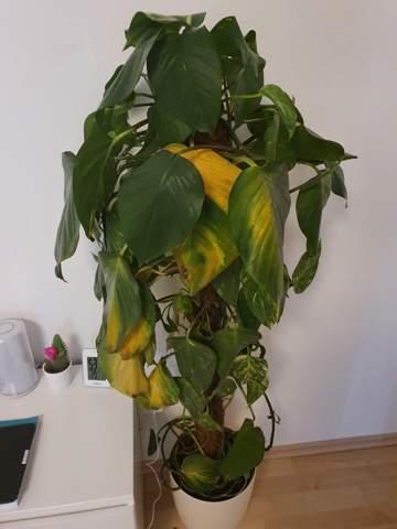 Was fehlt dieser Zimmerpflanze?
