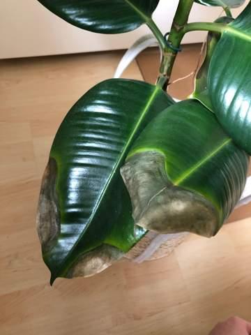 Was fehlt meinem Ficus (Blätter verfärbt)?