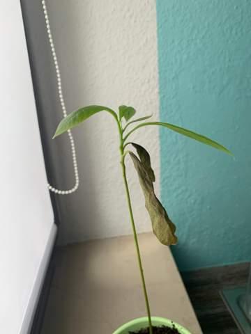 Was fehlt meiner Avocado Pflanze?