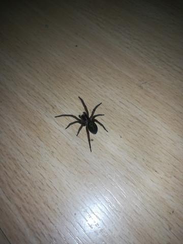 - (Spinne, Spinnenart)