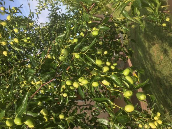 Was für ein Baum ist das (sieht aus wie Oliven)?