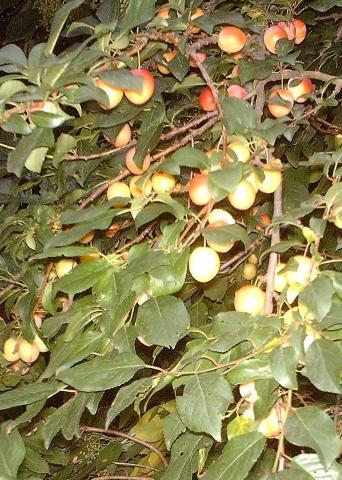 Blätter und Frucht eines unbekannten Baumes - (Biologie, Garten, Pflanzen)