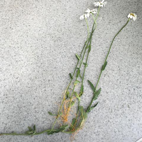 Gesamtbild/ Darstellung der befallenen Pflanze  - (Garten, Pflanzen, Blumen)