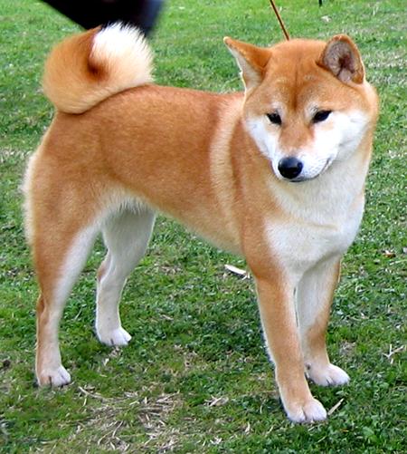 Shiba Dog Breed
