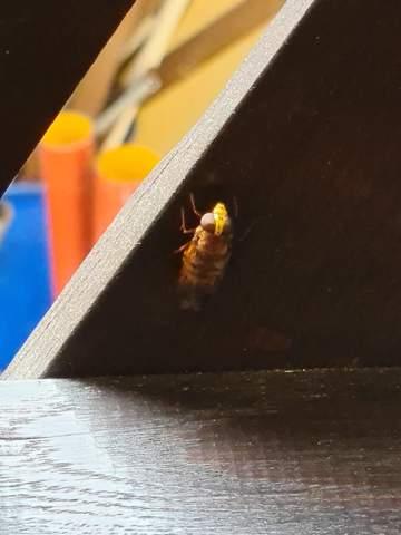 Was für ein Insekt ist das genau? Ist das gefährlich?