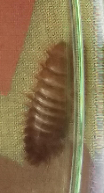 Was für ein Insekt ist das in meinem Zimmer? (Biologie, Natur, Insekten)