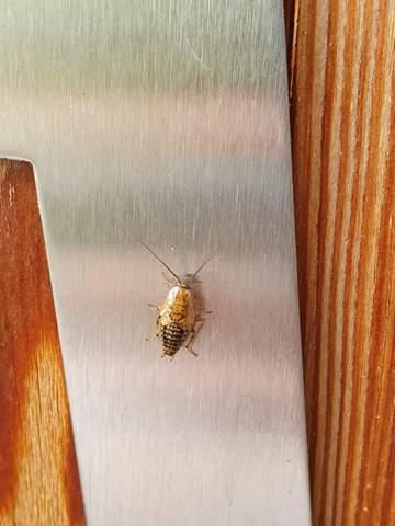 Was für ein Insekt ist das (Scharbe?)?