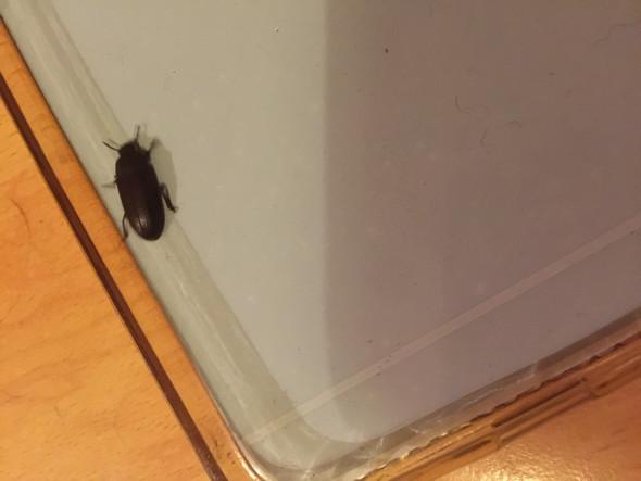 Kakerlake - (Insekten, Käfer kalerlake)