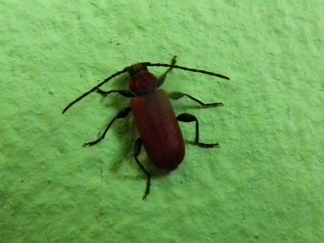 was f r ein k fer ist das auf dem bild insekten rot. Black Bedroom Furniture Sets. Home Design Ideas