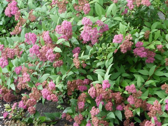 Was für ein rosa blühender Strauch ist das - blüht Juni/ Juli?