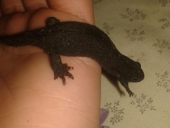 Bild 2 - (Molch, Salamander)