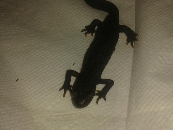 Bild 3 - (Molch, Salamander)