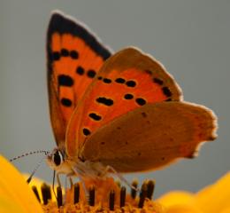 Was für ein Schmetterling ist das?