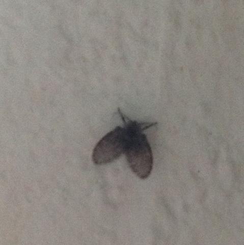 Was f r ein tier ist das irgendwas mottenartiges danke for Kleine schwarze fliegen blumenerde