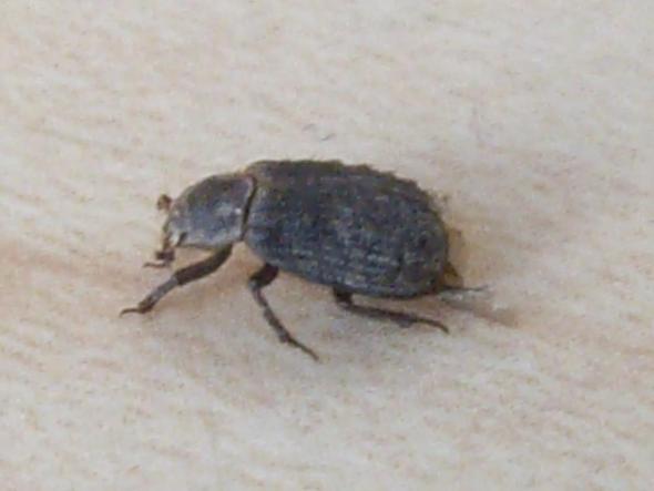 Was ist das für ein Käfer? - (Tiere, Ungeziefer)