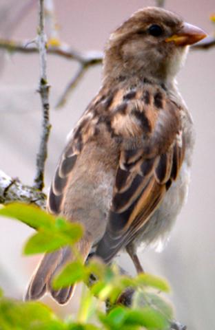 Was für ein Vogel (Sperling) ist das?