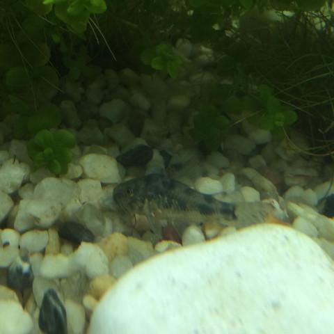 Fisch - (Fische, Aquarium, Welse)