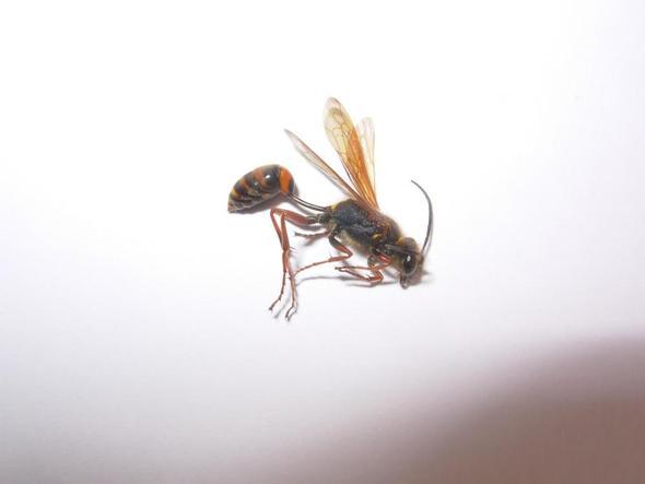Bild 1 - (Insekten, Art, Bienen)