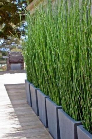 Schön Was Für Eine Bambus Art Ist Das?   (Garten, Pflanzen)