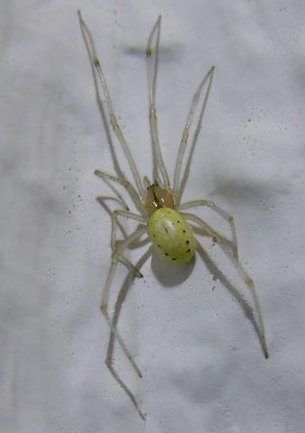 Spinne - (Tiere, Spinne)