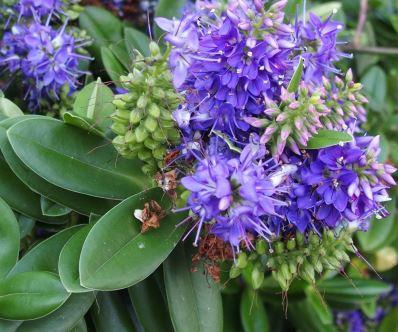 was f r eine immerg ne blau violett bl hende pflanze ist. Black Bedroom Furniture Sets. Home Design Ideas