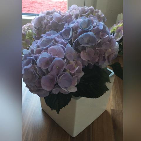 Hortensie - (blau, Art, lila)