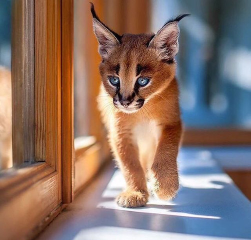 Katzenrasse von dieser Katze  - (Tiere, Katze, Rasse)