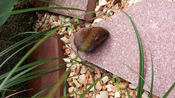 Maus läßt sich sogar fotografieren - (Maus, Nager, feldmaus)