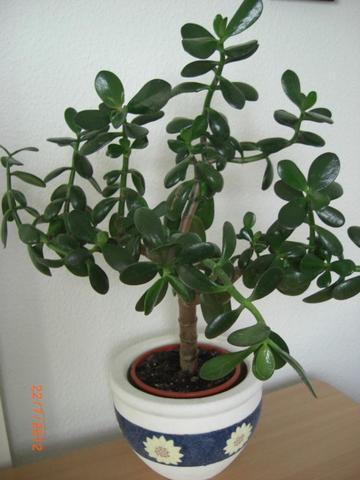 Pflanzenfoto_4Jahre_alt - (Pflanzen, Baum, Geldbaum)