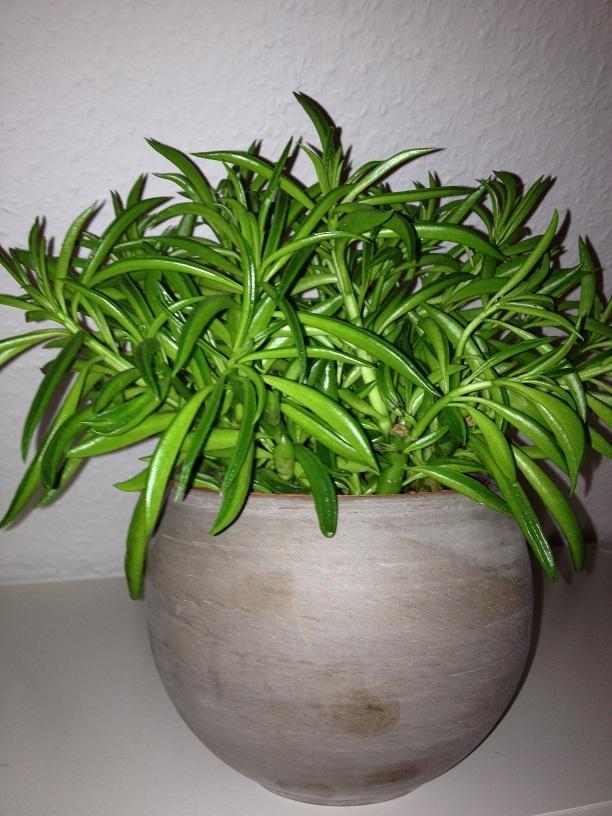 was f r eine pflanze ist das mit bild pflanzen pflanzenpflege zimmerpflanzen. Black Bedroom Furniture Sets. Home Design Ideas
