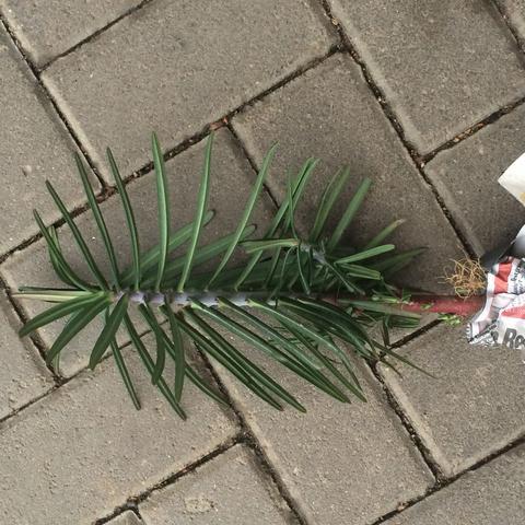 Lange, nadelförmige Blätter; dunkel grün  - (Garten, Pflanzen, Hobby)