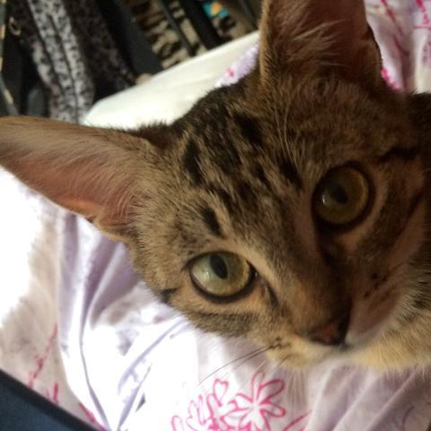 Ich finde sie hat große Ohren und ein wenig ein Gesicht von einer Eule :) - (Katze, Rasse)