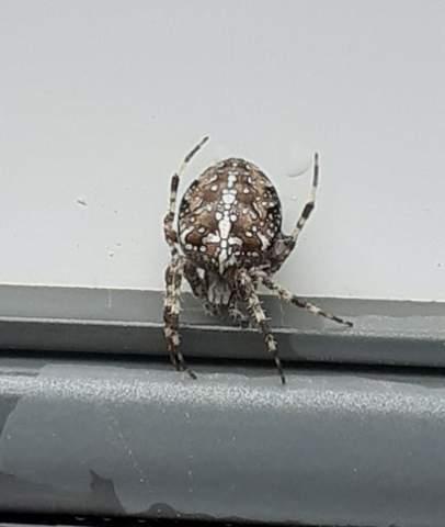 Was für eine Spinne ist das?