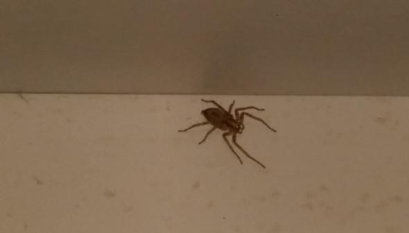 spinne - (Tiere, Spinnen, Spinne)